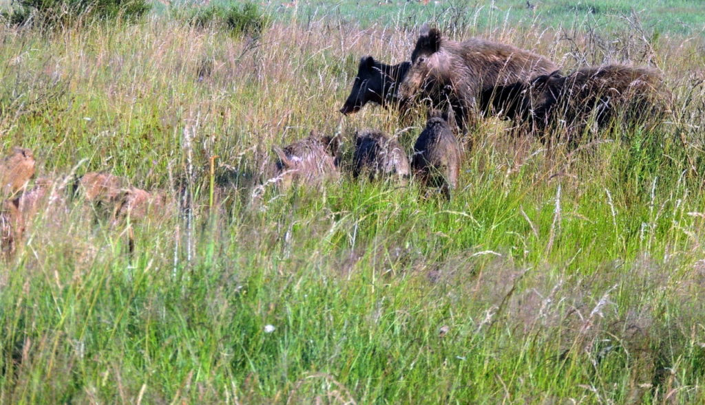 Als Prävention gegen die Afrikanische Schweinepest beantragt die CSU-Kreistagsfraktion die Einführung einer Abschussprämie für Wildschweinfrischlinge.
