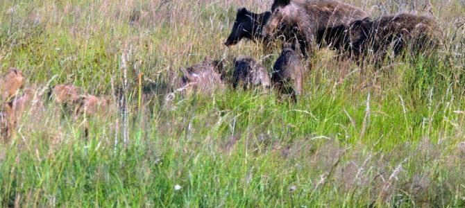 Afrikanische Schweinepest auf dem Vormarsch – CSU beantragt Abschussprämie